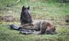 Dartmoor Foal. (pedro2324) Tags: foal pony horse equine creature animal dartmoor devon resting cute burrator