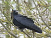 Carrion crow (marksargeant57) Tags: canonpowershotsx60hs lincolnshire tree branch corvid crow carrioncrow leafbud