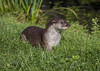 Otter (babell4321) Tags: otter wildlife outside water beverleybell animal 2016 canon recent canoneos700d