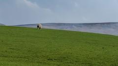 Dinner for one (Just landscapes) Tags: peakdistrict fujifilmxt2 fujifilm fuji hillside hill pasture farm green field sheep grass