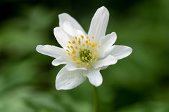 zwölfblättriges Buschwindröschen (tleesch) Tags: anemone anemonenemorosa blume buschwindröschen natur pflanze windröschen grün demmin mecklenburgvorpommern deutschland de