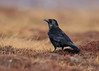 Carrion Crow (Martial2010) Tags: raven angus glen canon