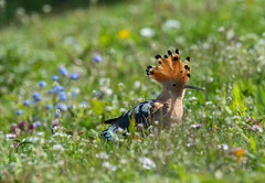Hoopoe, IOW, UK. 26-04-2018-4836 (seandarcy2) Tags: hoopoe iow uk birds wildlife shanklin occasional visitor hand held wild flower meadow