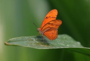 Dutch butterfly