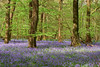White Down woods, Surrey (tonybill) Tags: april fujifilmxt2 fujinonxf1655mmf28 oldsimmscopse surrey whitedown bluebells