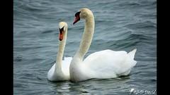 Parade nuptiale de Cygnes (jean-daniel david) Tags: nature oiseau oiseaudeau lathièle lac lacdeneuchâtel yverdonlesbains couple duo cygne eau vidéo vague