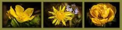 2018-04-25 - Three Yellow Flowers with a touch of Blue (dangle earrings) Tags: flowers yellow blue marshmarigold dandelion forgetmenot doubletulip mygarden dangleearings panasonicdmcgx8 macro olympusm60mmf28macro
