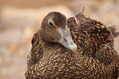 Female Common Eider Duck (charliejb) Tags: commoneiderduck female duck bill feathered bristol wildlife brown bristolzoo conservation feathers 2018