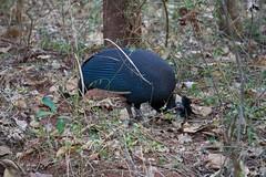 Crested guinea fowl (tristankleyn) Tags: bird guineafowl lajuma