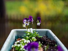 Spring and All (briburt) Tags: briburt panasonic lumix dmcg3 flowers flowerbox purple leica leitz bokeh nature summicron 50mm 5cm ernstleitz blur micro43 microfourthirds spring seasons green leitz50mm leitz5cm f2