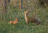 Fox Baby and Mama (Tiara Rae Photography) Tags: fox vixen kit cub pup baby animal wildlife nature omaha nebraska golden hour light