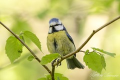 Blue Tit (Cyanistes Caeruleus aka Parus Caeruleus) (PhasmatosOculus) Tags: april 2018 april2018 bird birds rivernene ferry meadows ferrymeadows nenepark neneparktrust peterborough cambridgeshire wildlifeanimal wildlife animal animals wildlifeanimals matthewfarrugia matthew farrugia centricmalteser eastanglia canon7dmkii canon 7d mkii eos7dmkii canoneos7dmkii eos canoneos phasmatosoculus