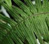 Texture (Violet aka vbd) Tags: pentax k3 vbd hdpentaxda55300mmf4563edplmwrre il illinois fern green chicago lincolnparkbotanicalgarden 2018 winter2018 handheld manualfocus