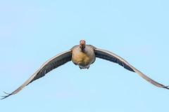 Incoming (Paul Wrights Reserved) Tags: greylag goose bird birding birds birdphotography birdwatching birdinflight flying fly flight inflight gooseinflight