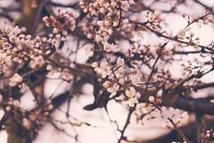 Springtime (izzistudio) Tags: flowers buy photography print etsy izzistudio blossom blooming tree springtime sakura cherry nature