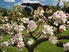 Apple Blossom Bridge End Garden Saffron Walden Essex (Simon Ross Photos) Tags: appleblossom bridgeendgarden saffronwalden essex blossom olympus penf 2018