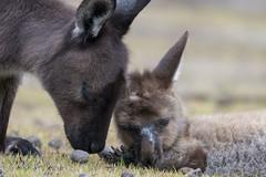 Kangaroo mother with sick child - Flinders Chase - Kangaroo Island - Australia (wietsej) Tags: kangaroo mother with sick child flinders chase island australia sony rx10 iv rx10m4 animal nature