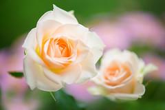 rose 5558 (junjiaoyama) Tags: japan flower rose peach bokeh spring macro macromademoiselle