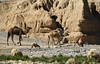 Camels 1 (rdspalm) Tags: second birds birdwatching morocco camels camel nikond850