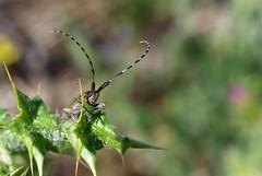 Agapanthia cardui/suturalis (J Carrasco (mundele)) Tags: valdemoro cdemadrid insectos coleoptera cucujiformia chrysomeloidea cerambycidae lamiinae agapanthia