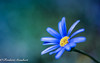 One (frederic.gombert) Tags: flower blue light spring springtime color yellow macro garden summer colored bloom blossom