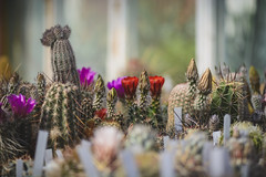 cactus on flowers and with buds, background with cactus. (clement_peiffer) Tags: background flowers flower nature floral plant leaves tropical green texture wallpaper pink beautiful orange pattern beauty tree summer leaf arrangement spring colorful white style cactus fresh concept rose love romantic wedding birthday marriage anniversary flat creative roses space lay design hipster greenery peach copy wooden art little minimal abstract plants