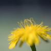 Dancing stamens (OzzRod) Tags: sony arii smcpentaxfa77mmf18ltd raynoxd250 macro flower dandelion yellow stamens bokeh square