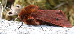 ruby tiger Phragmatobia fuliginosa arctiinae erebidae (BSCG (Badenoch and Strathspey Conservation Group)) Tags: acm insect moth lep lepidoptera deadwood heathland erebidae arctiinae woodlandedge sunshine may