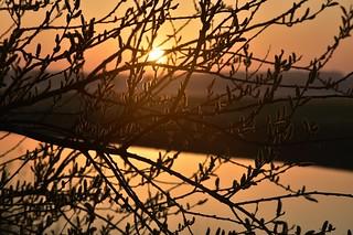 Weidenkätzchen an der Alten Treeneschleife; Süderhöft, Nordfriesland (34)