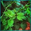 Green. #Downtown #dclife  #nationalmall #nationalparks #iPhonemacro #macro #iPhone #iPhone365 (Kindle Girl) Tags: nationalparks iphonemacro macro iphone365 downtown dclife nationalmall iphone