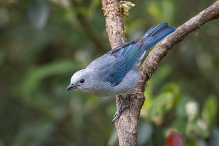 Thraupis episcopus (Blue-gray Tanager / Azulejo)