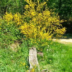 May is blooming (Broom in heath) (eikeblogg) Tags: heath broom mobilephotography landscapeshots biosphere preserve heather landscapes natureshots beautiful ngc may eifel sunnyday