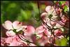 IMG_3296 Dogday  of Spring 5-7-18 (arkansas traveler) Tags: dogwood flowers nature naturewatcher natureartphotography bokeh bokehlicious zoom telephoto