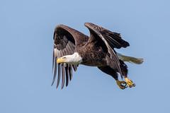 Bald Eagle (Simon Stobart) Tags: bald eagle flying haliaeetus leucocephalus florida usa naturethroughthelens coth5 ngc npc