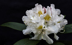In Full Splendour (AnyMotion) Tags: rhododendron azalea ericaceae blossom blüte leaves blätter 2018 plants anymotion nature natur blumen floral flowers frankfurt garden garten spring frühling primavera colors colours farben white weiss 6d canoneos6d doublefantasy ngc npc