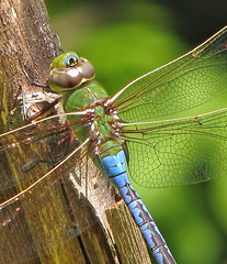 Common green darner (Vicki's Nature) Tags: commongreendarner large dragonfly male upclose macro wings blue green tree biello georgia vickisnature canon s5 3009 returndragonfly