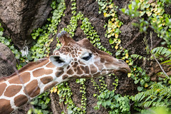 Reaching for a Yummy Leaf at the Philadelphia Zoo (Jersey Camera) Tags: giraffe zoo philadelphiazoo hoofedmammal giraffecamelopardalis giraffacamelopardalisreticulata