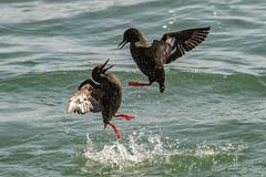 Pigeon Guillemots (m) - Mating confrontation (Bob Gunderson) Tags: birds california cepphuscolumba fortpoint largeauks northerncalifornia pigeonguillemot presidio sanfrancisco