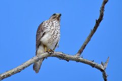 (BMADHudson) Tags: bird hawk red shoulder tree sky blue yellow feathers florida wildlife nature