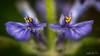 Duo lumineux....! - Bright duo ....! (minelflojor) Tags: fleur pistil pétales pollen tige nature anthère feuille flou macro bokeh tamronsp90mmf28dimacro11vcusd flower petals stem anther leaf blur lumineux bright