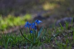 Scilla (Stefano Rugolo) Tags: stefanorugolo pentax k5 pentaxk5 helios44258mmf2 helios442 scilla wildflowers bokeh depthoffield vintagelens spring primelens manualfocus hälsingland sweden