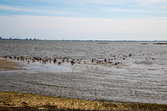 7K8A3553 (rpealit) Tags: scenery wildlife nature edwin b forsythe national refuge brigantine brant geese goose bird