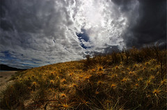 spinifex sericeus 3a (Bilderschreiber) Tags: spinifex sericeus sandspit ngunguru new zealand neuseeland newzealand northisland nordinsel nature natur northland wideangle weitwinkel fisheye