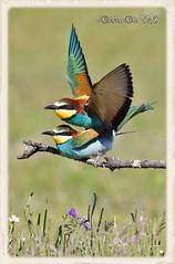 Abejaruco Europeo (Merops apiaster) (JORGE AMAYA BUSTAMANTE - JAKKEMATE) Tags: jakkemate nikon d500 sigma 150500