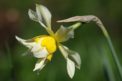 Nartsiss. Narcissus (Jaan Keinaste) Tags: pentax k3 pentaxk3 eesti estonia lill flower nartsiss narcissus kevad spring jupiter37a