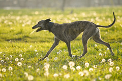 Mida and his frisbee (Mohnstrudel whippets) Tags: whippet dandelions joy frisbee walk