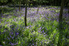 bluebell woods (grahamdale74) Tags: bluebells 2018 alyssia caitlin chel