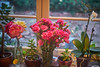 Kitchen Window (Aerogami.com) Tags: iscogottingenwestanar50mmf28 isco gottingen westanar kitchen window carnations roses rose carnation pink flower windowsill sill