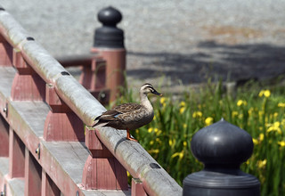 Duck on Handrail
