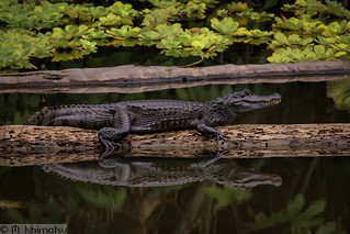 Spectacled caiman- Caiman crocodilus, in situ
